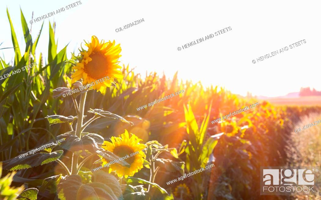 Stock Photo: Sunlit sunflowers on edge of field.