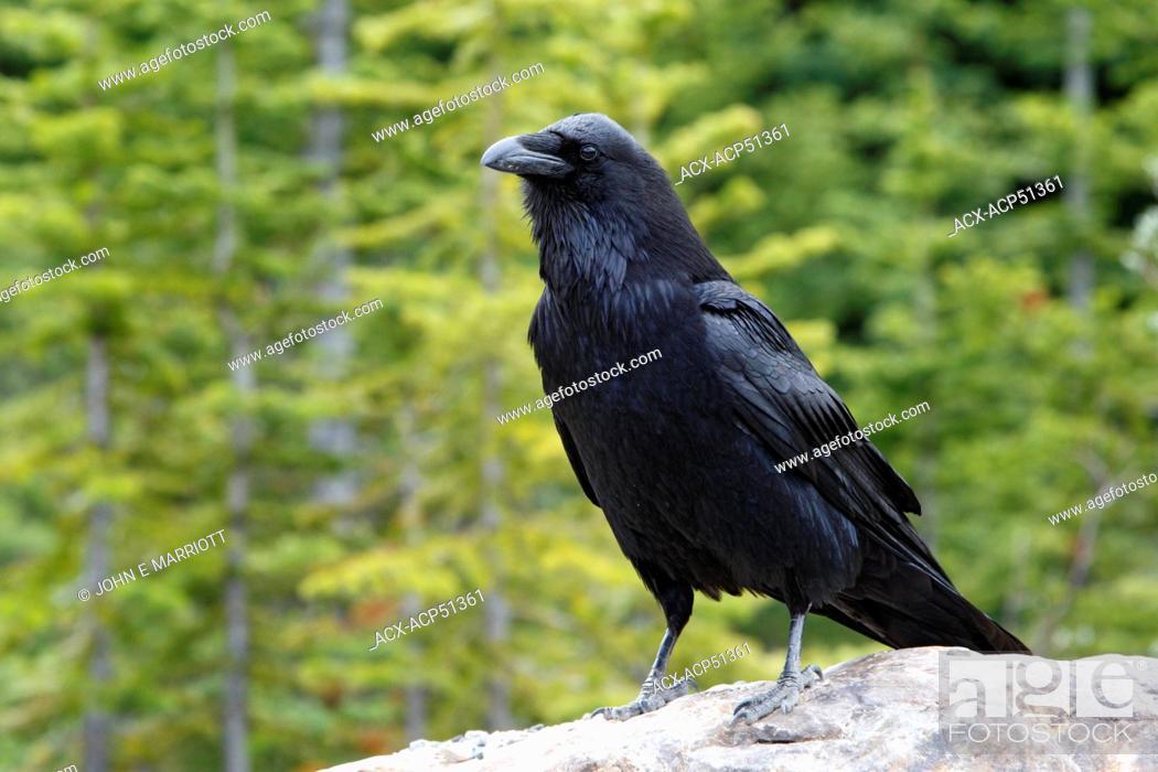 Stock Photo: Common Raven Corvus corax.