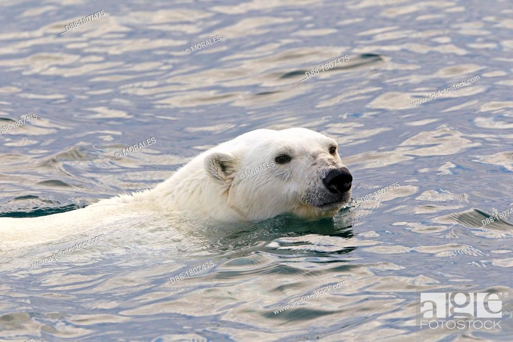 Photo de stock: Norway , Spitzbergern , Svalbard , Polar Bear  Ursus maritimus  , swimming in search of prey  seals on pieces of ice.