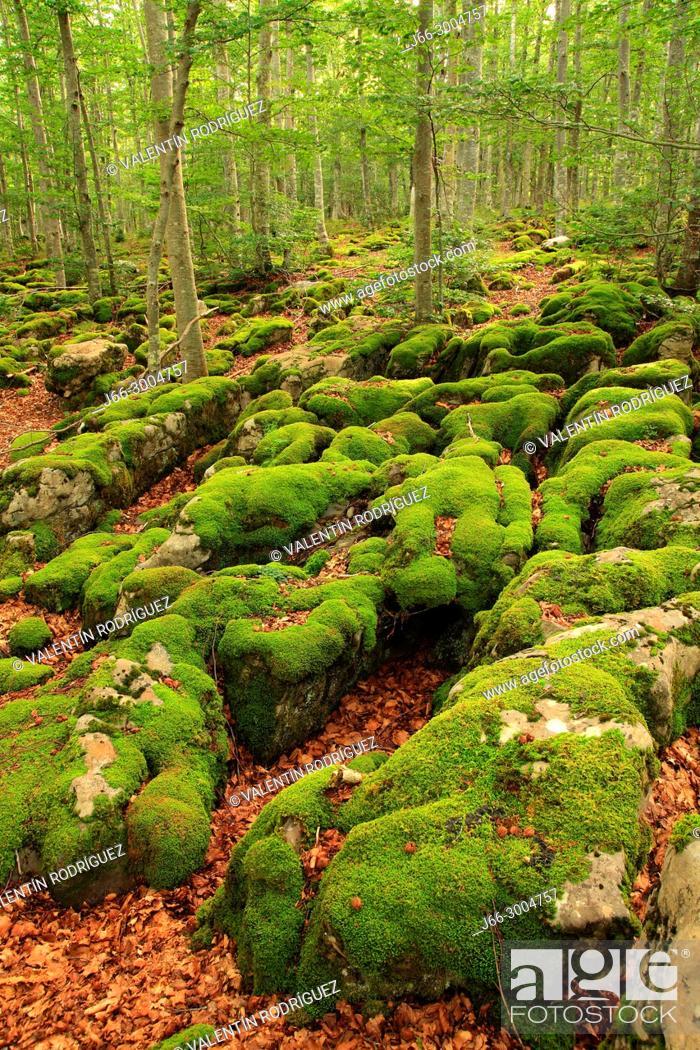 Stock Photo: Beech in the natural park Sierra Aralar. Navarra.