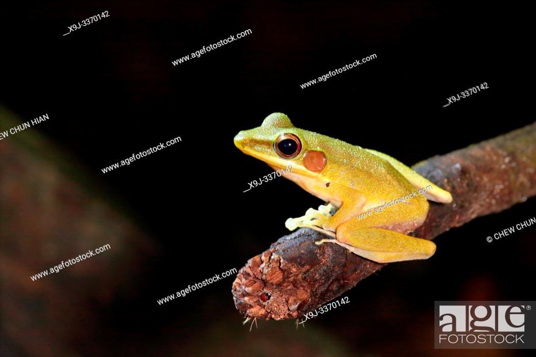 Stock Photo: Schlegel's Java Frog (Hydrophylax chalconotus), Malaysia.