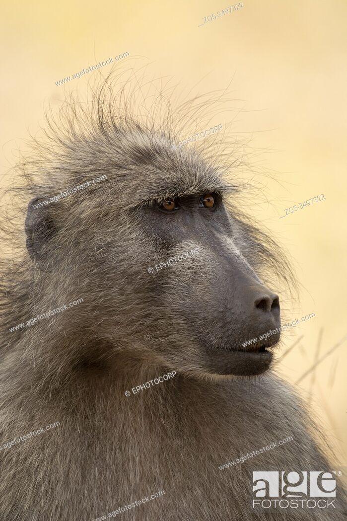 Imagen: Baboon, Papio ursinus, Kruger National Park, South Africa.
