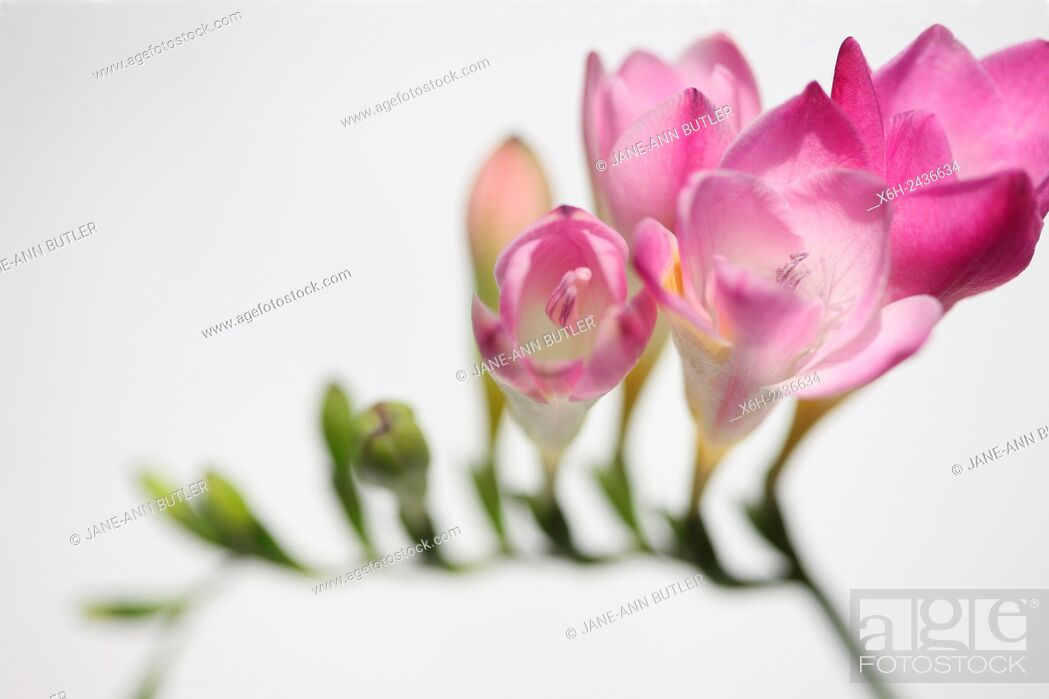 Stock Photo: gentle pink freesia stem as sweet as its fragrance.