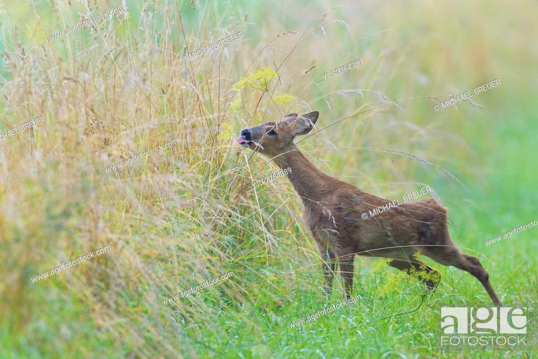 Stock Photo: Western Roe Deer (Capreolus capreolus), Fawn, Summer, Hesse, Germany, Europe.