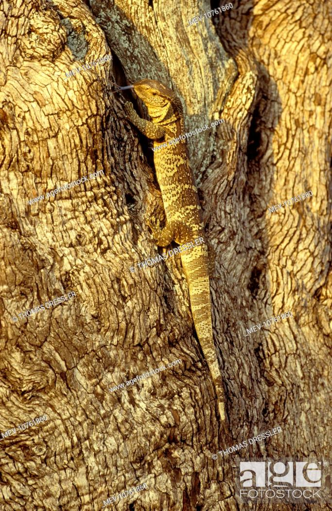 Rock Monitor White Throated Monitor Hunting In A Tree Varanus