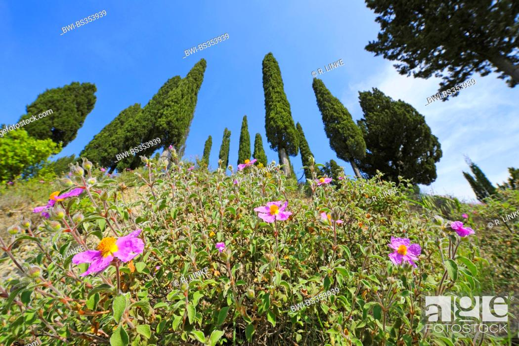 Stock Photo: Italian cypress (Cupressus sempervirens), row of trees looming behind blooming rock roses, Italy, Tuscany, Siena.