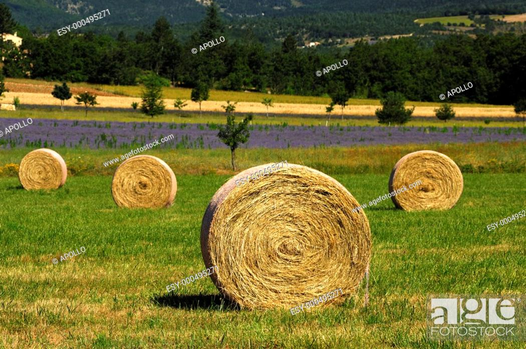 Stock Photo: Round hay bales on a mowed meadow.