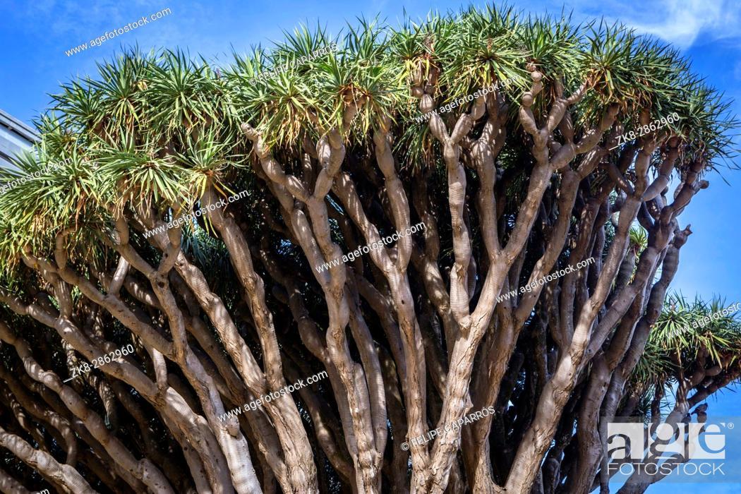 Stock Photo: Old tree of variety Dracaena Draco in Genoves Park in Cadiz, Andalusia, Spain.