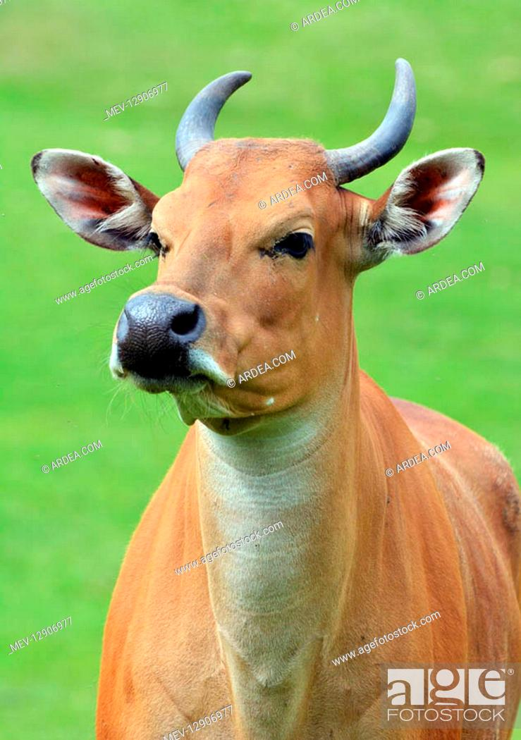 Stock Photo: Banteng, young femasle. South east Asia, wild and domestic cattle.