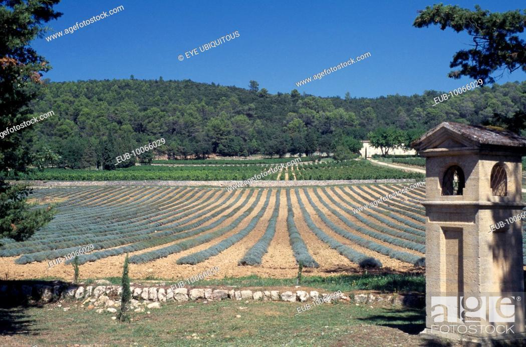 Stock Photo: Near St Maximin, Vineyard,Coteaux Varois, Chateau la Calisse, lavender & vines.
