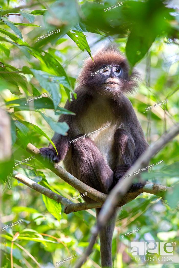 Stock Photo: South east Asia, India,Tripura state,Phayre's leaf monkey or Phayre's langur (Trachypithecus phayrei).