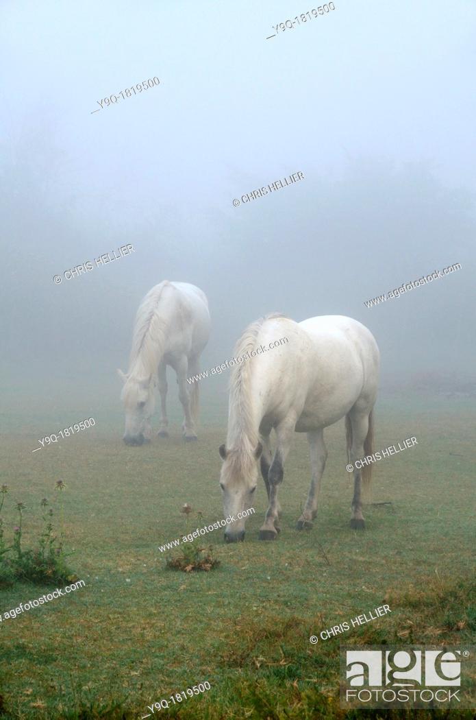 Stock Photo: White Camargue Horses in Morning Mist Camargue Provence France.