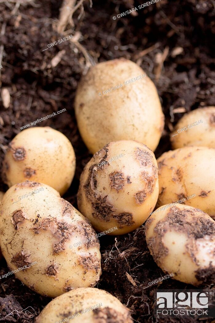Imagen: POTATOES - COMMON SCAB IS CAUSED BY STREPTOMYCES SCABIES.