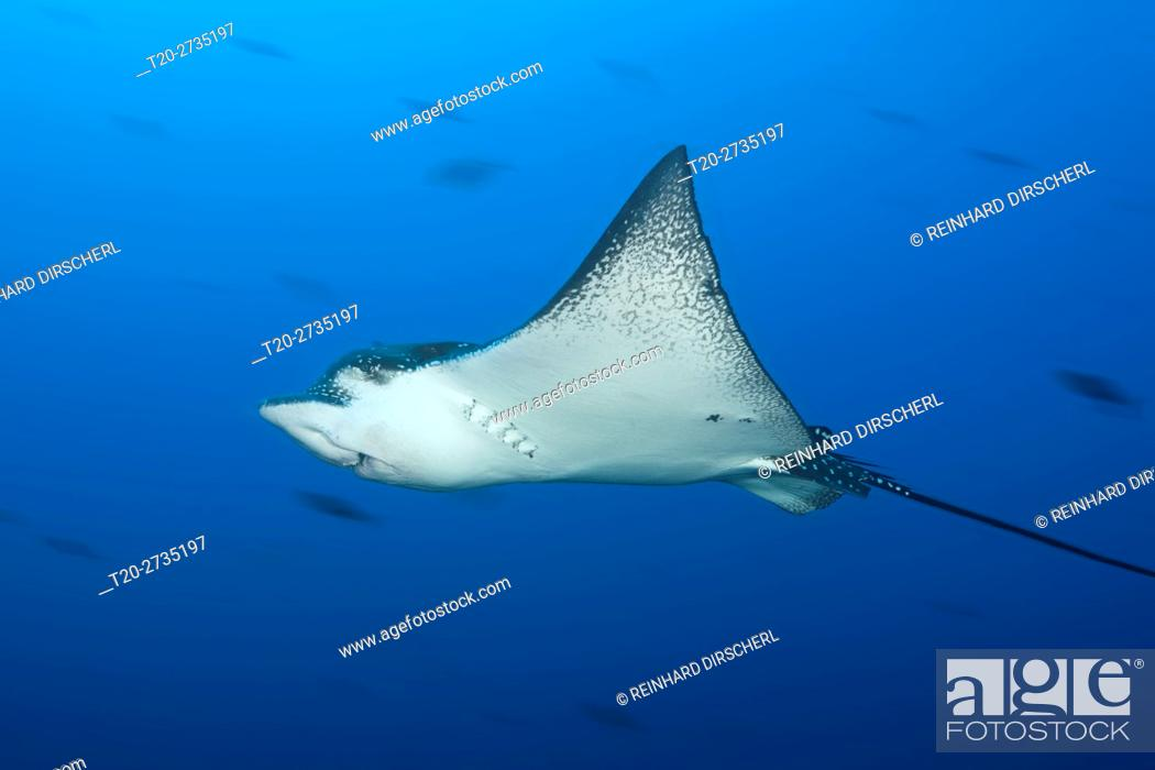 Stock Photo: Spotted Eagle Ray, Aetobatus narinari, Wolf Island, Galapagos, Ecuador.