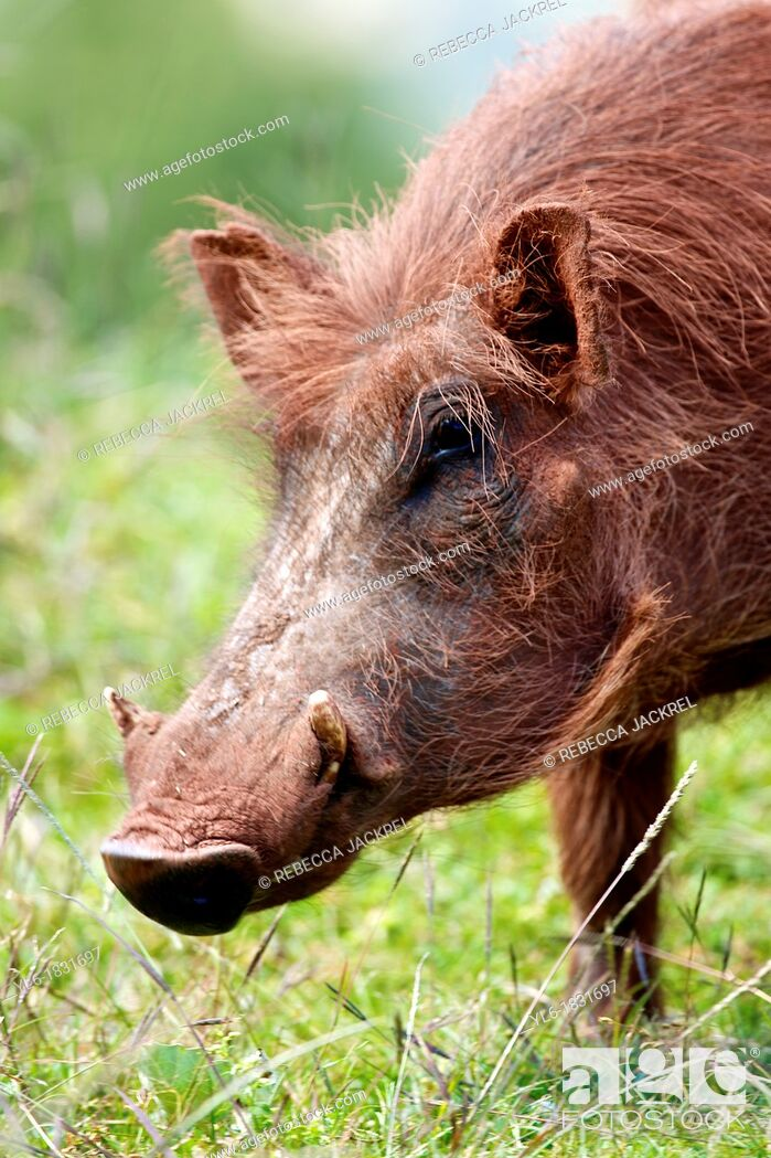 Stock Photo: Portrait of a warthog in Ethiopia.