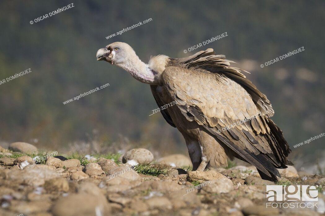 Stock Photo: Griffon Vulture (Gyps fulvus) feeding. Lleida province. Catalonia. Spain.