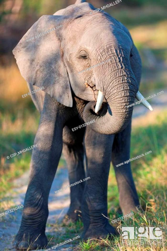Stock Photo: elephant, tusk and herd.