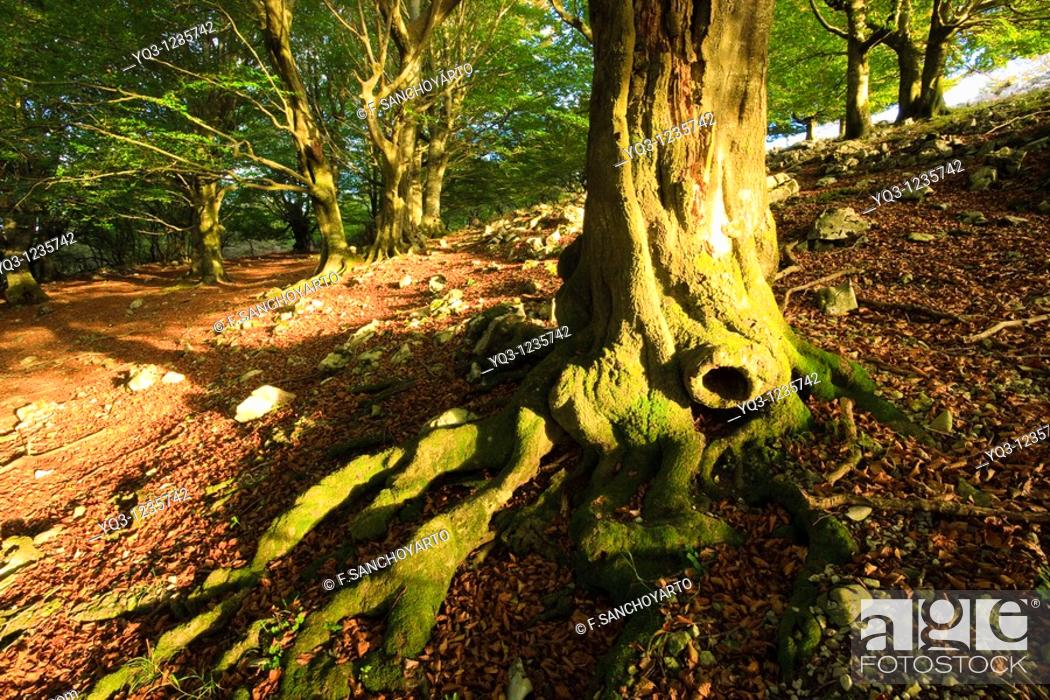 Stock Photo: Cerredo beech forest in autumn, Castro Urdiales, Cantabria, Spain.