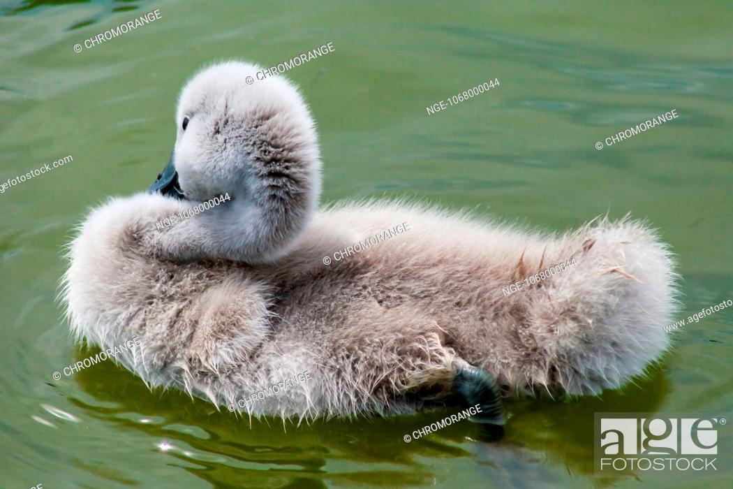 Stock Photo: Baby swan swimming in.