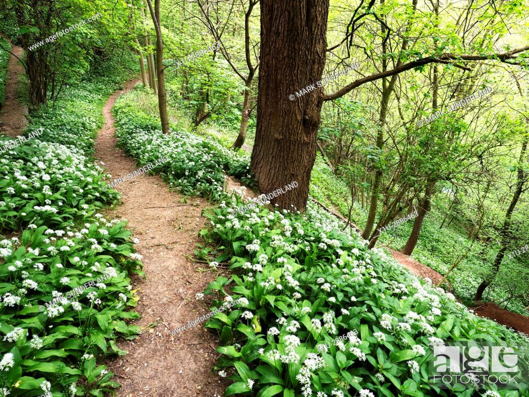 Stock Photo: Wild garlic Flowers by a Path through Spring Woodland in the Nidd Gorge near Knaresborough, North Yorkshire, England.