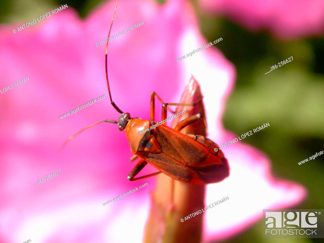 Stock Photo: Bug (fam. Miridae).