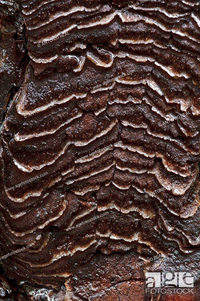 Stock Photo: Corteza de Pino rodeno Pinus pinaster  Parque Natural de la Serranía de Cuenca  Cuenca.
