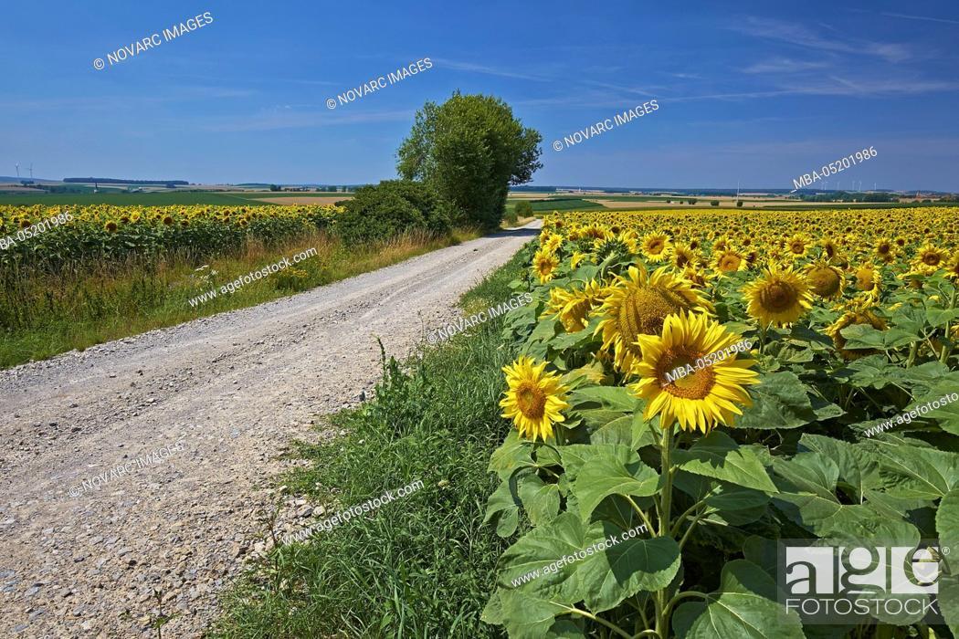 Stock Photo: Field path through sunflower fields at Aub, Lower Franconia, Bavaria, Germany.