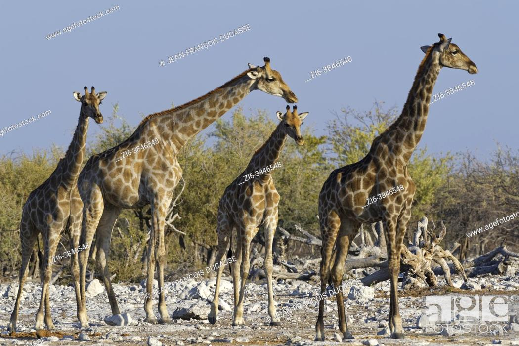 Stock Photo: Namibian giraffes (Giraffa camelopardalis angolensis), herd with young male next to the waterhole in the evening sun, Etosha National Park, Namibia, Africa.