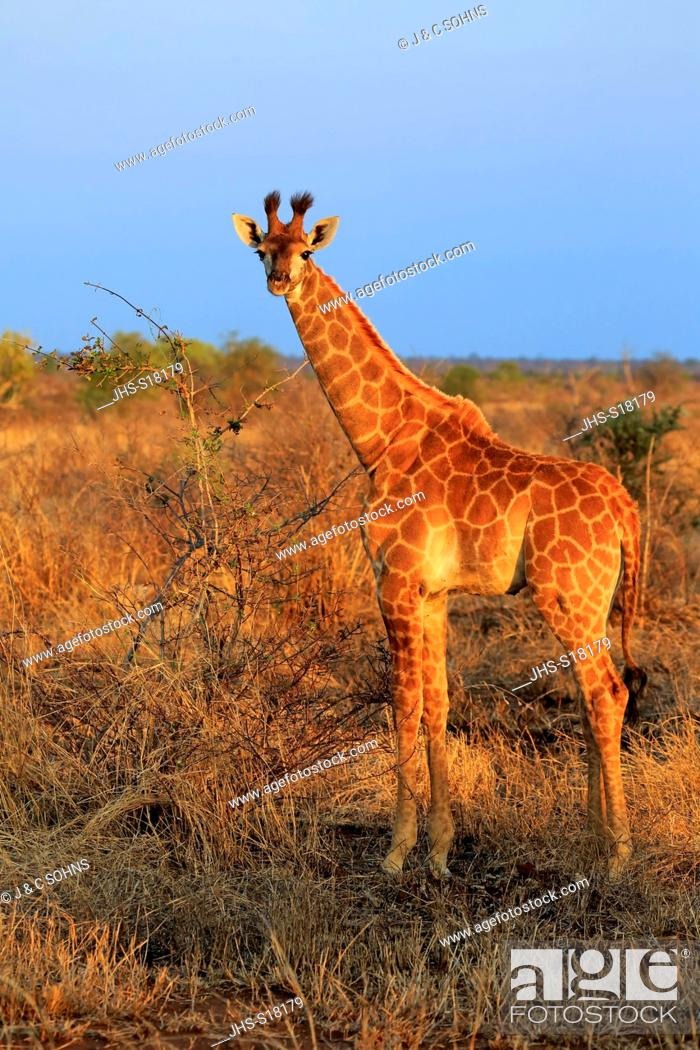 Stock Photo: Cape Giraffe, (Giraffa camelopardalis giraffa), young, Kruger Nationalpark, South Africa, Africa.
