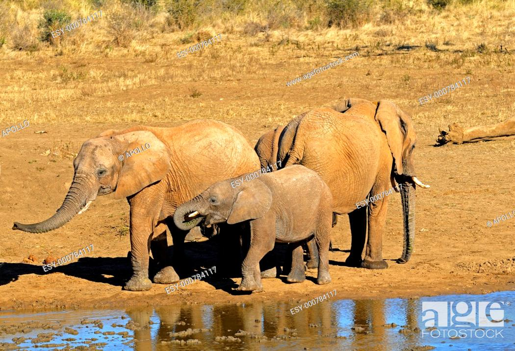 Stock Photo: Herd of African Elephants at a waterhole, Loxodonta africana, Madikwe Game Reserve, South Africa.