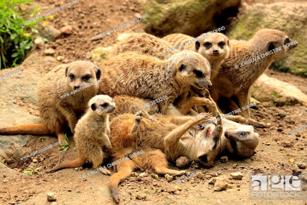 Imagen: Meerkats (Suricata suricatta), clan, social behaviour, Germany.