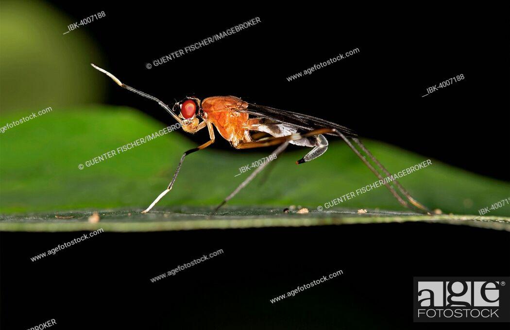 Imagen: Tropical Stilt Fly (Micropezidae sp.), Tambopata Nature Reserve, Madre de Dios region, Peru.