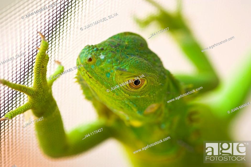 Stock Photo: Young green iguana on house metal screen, Weston, Florida, USA.