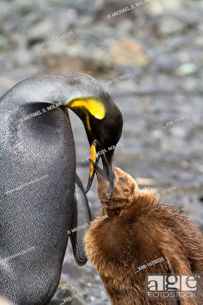 Photo de stock: A rare adult melanistic excess of melanin creating black feathers where white normally would be king penguin Aptenodytes patagonicus feeding its 'okum boy'.