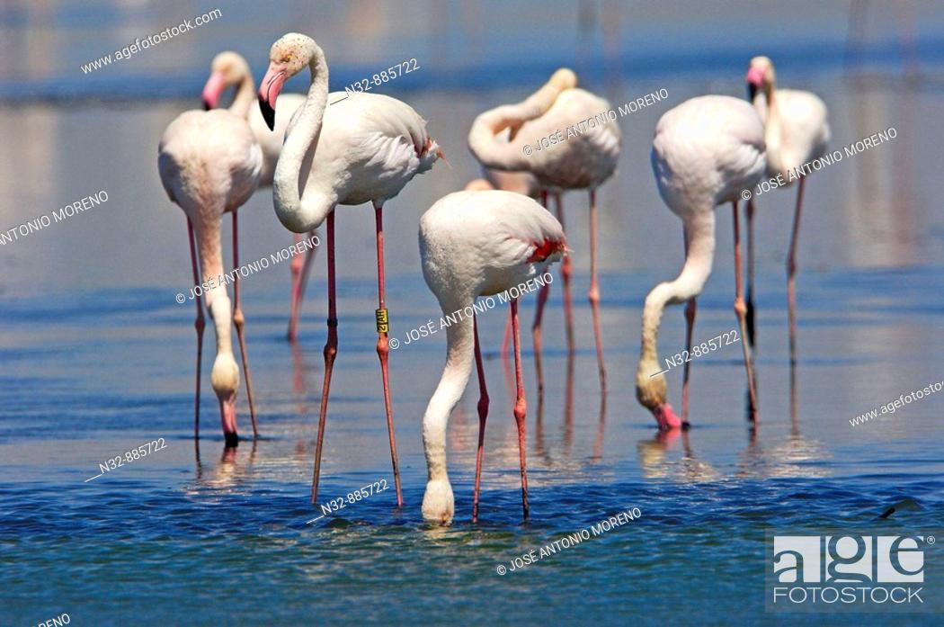 Stock Photo: Greater Flamingo (Phoenicopterus ruber), Fuente de Piedra Lagoon. Malaga province, Andalusia, Spain.