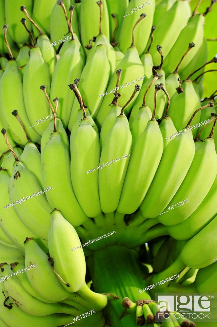 Stock Photo: Bananas (Musa), Taman Negara National Park, Malaysia, Southeast Asia.