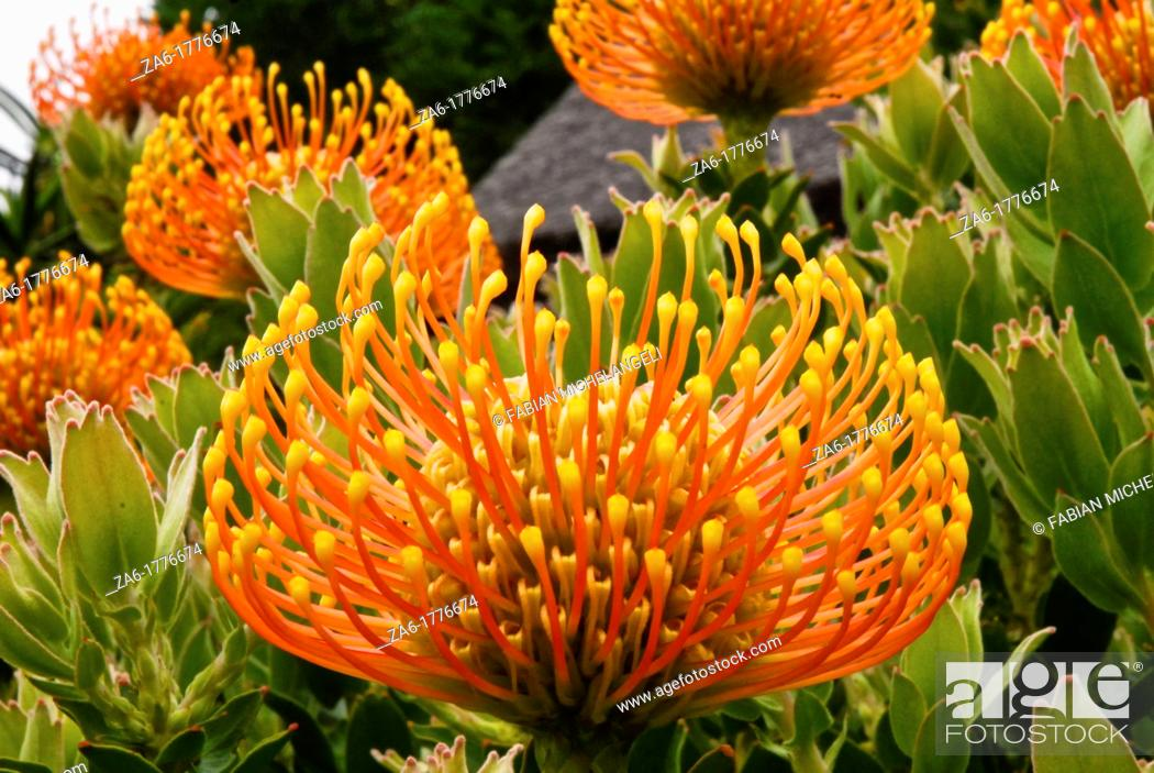 Imagen: Pincushion protea Leucospermum cordifolium at Kirstenbosch National Botanical gardens in Cape Town, South Africa.