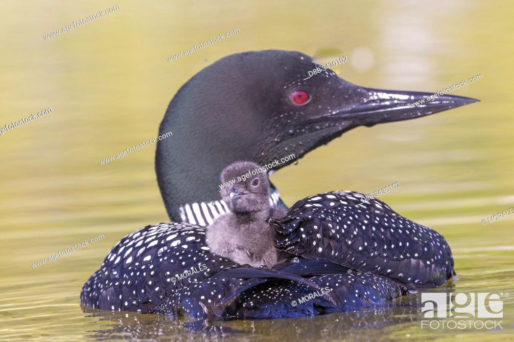 Stock Photo: United States, Michigan, Common Loon (Gavia immer), on a lake, parents with a baby on the back.