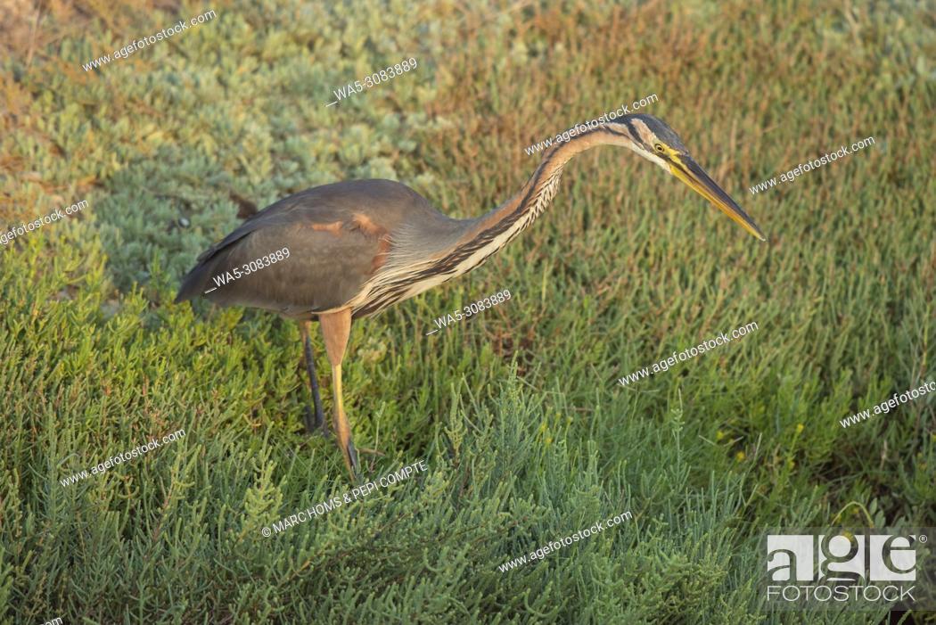 Stock Photo: Purple Heron hunting on Deltebre, catalonia.