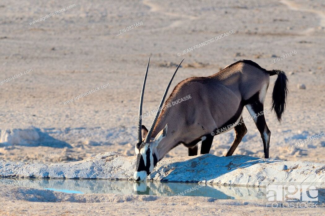 Stock Photo: Gemsbok (Oryx gazella), drinking at a waterhole, Etosha National Park, Namibia, Africa.