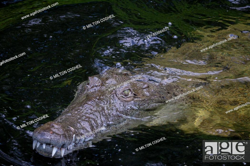 Stock Photo: American Crocodile (crocodylus acutus) in a swamp in Black River, Jamaica.