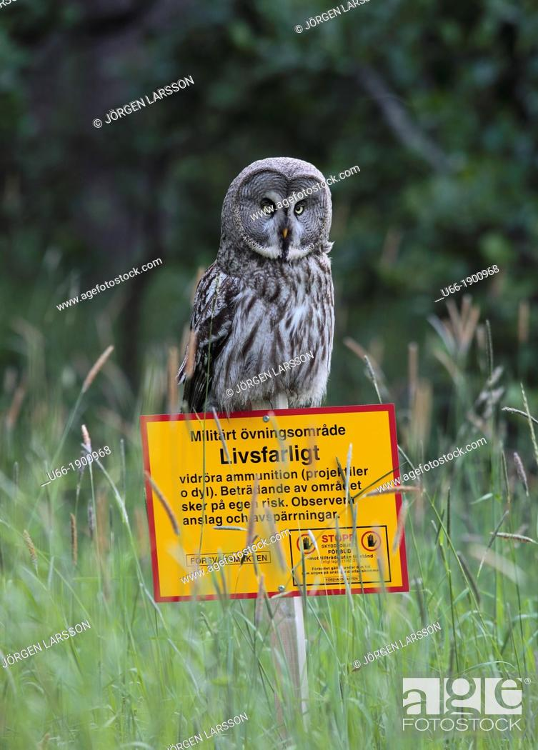 Stock Photo: Great Grey Owl, Strix nebulosa, Botkyrka, Sweden.