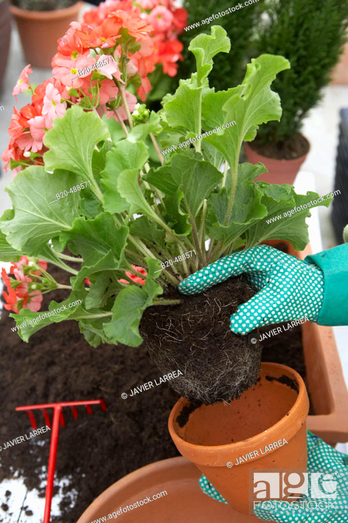 Stock Photo: Transplanting flowers, removing geranium from pot. Gabiria, Gipuzkoa, Euskadi, Spain.
