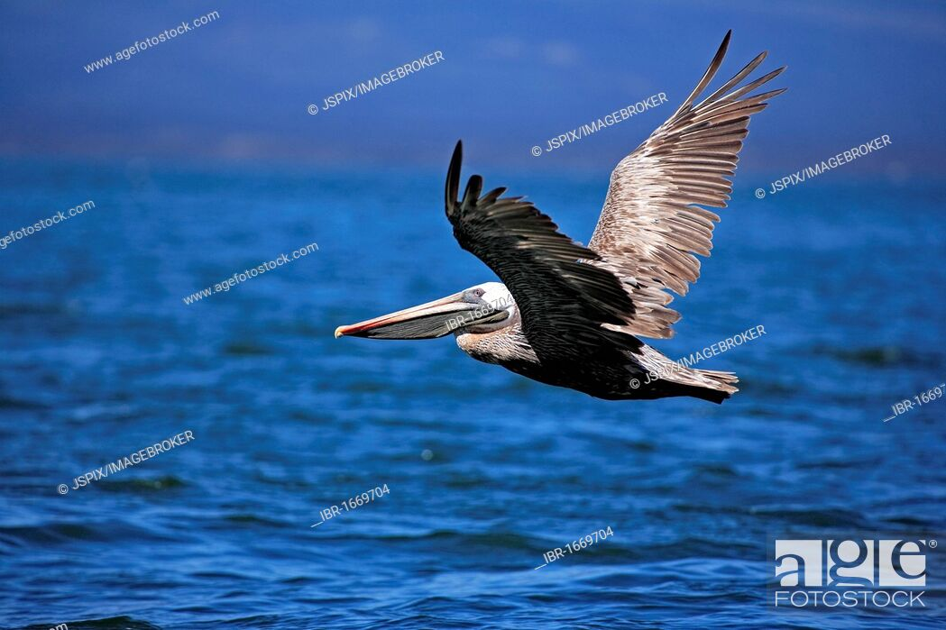Photo de stock: Brown Pelican (Pelecanus occidentalis), adult, in flight, Galapagos Islands, Pacific Ocean.
