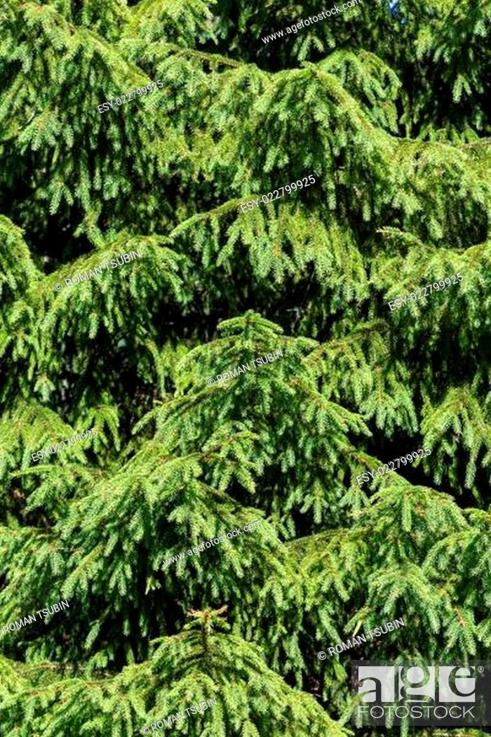 Photo de stock: Background of Christmas tree branches.
