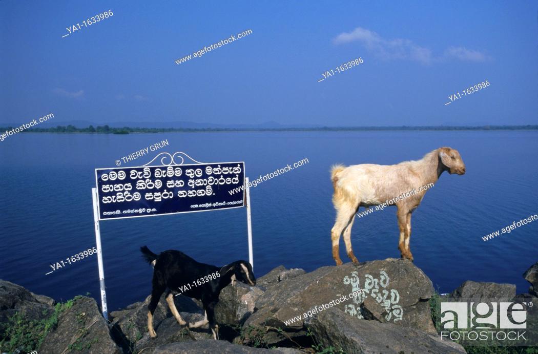 Stock Photo: Goats on lakeside rocks, lake Topawewa, Polonnaruwa, Sri Lanka.