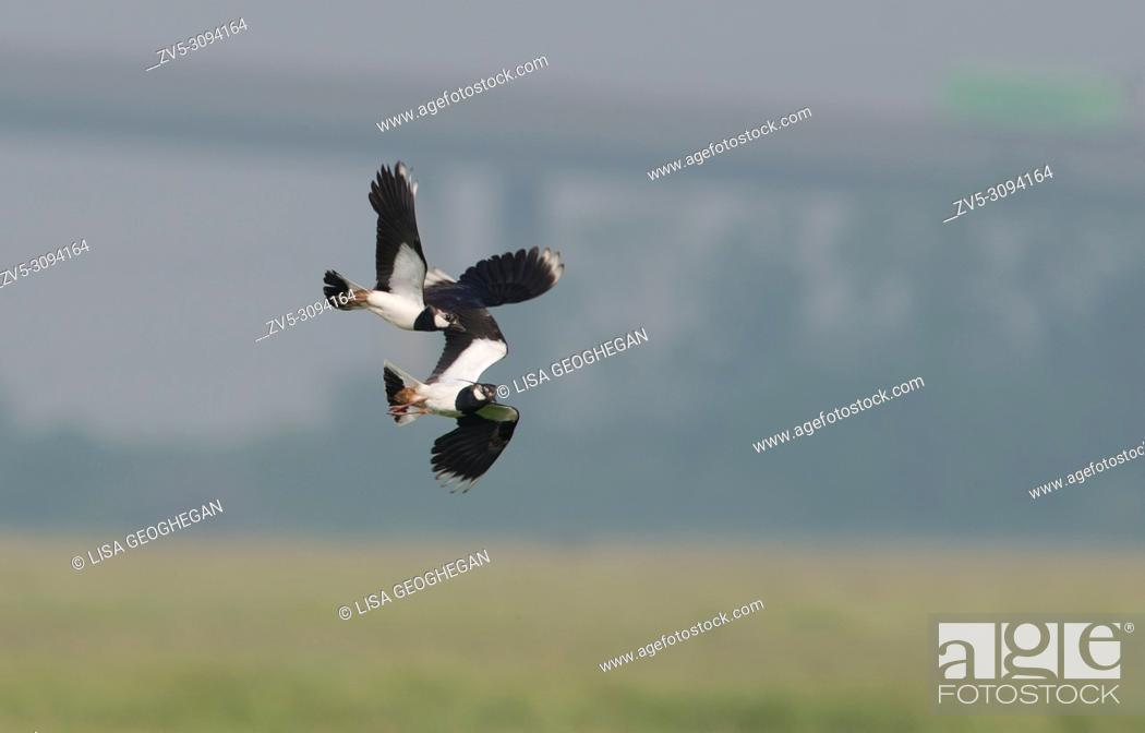 Imagen: Lapwings-Vanellus vanellus display in mid air. Uk.
