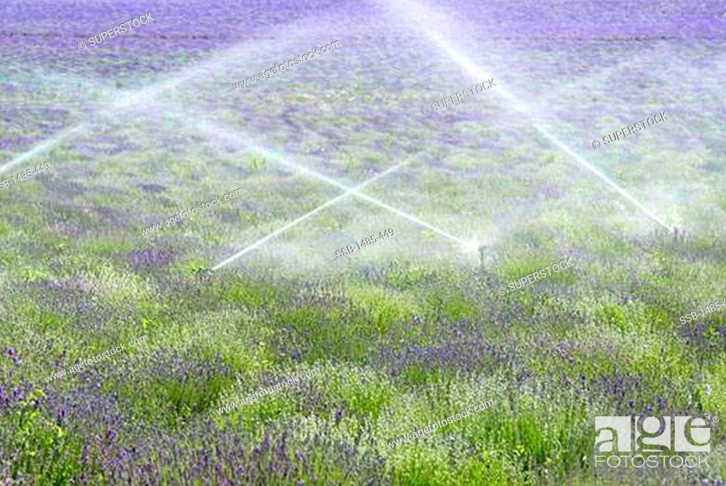 Stock Photo: Lavender field being irrigated by agricultural sprinklers, Utah, USA.