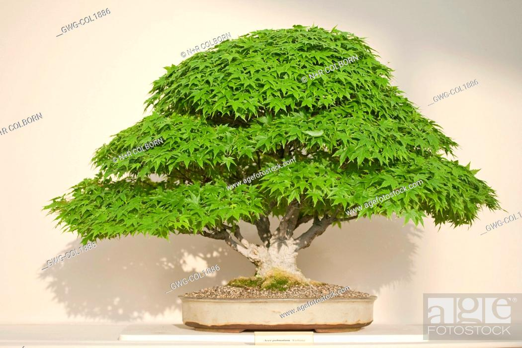 Bonsai Dwarf Maple Acer Palmatum Kashima Stock Photo Picture And