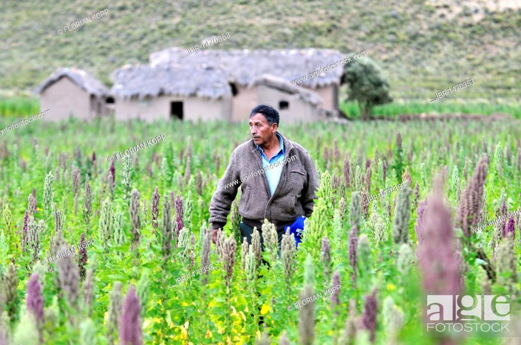 Stock Photo: Farmer in a field, quinoa plants (Chenopodium quinoa), Altiplano Bolivian highland, Oruro Department, Bolivia, South America.